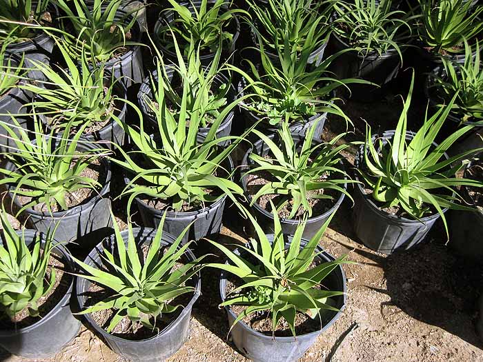 Eos Palm Desert >> Indio CA Plant Nursery & Garden Center | Palm Trees for Sale